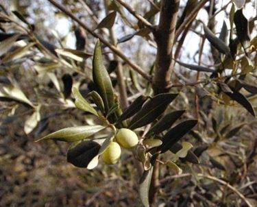 olivo bianchera 2
