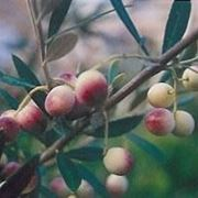 biancolilla cultivar