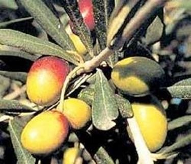 olive biancolilla
