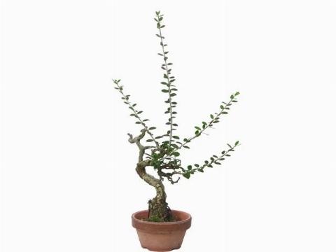 Olivo bonsai ulivo - Siepe di ulivo ...