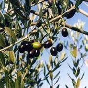 olive canino