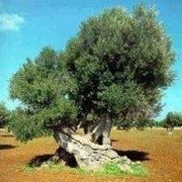olivo canino