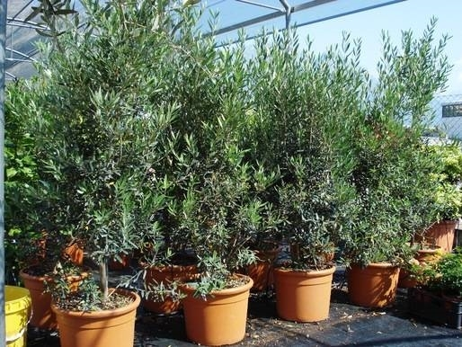Olivo cipressino ulivo - Siepe di ulivo ...