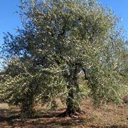 oliva coratina