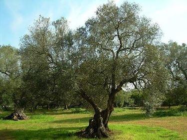 olivo cura