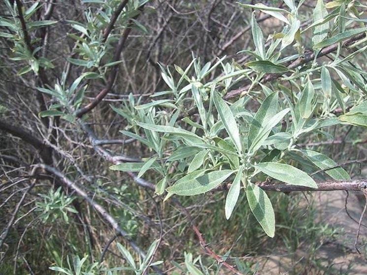 olivo boemia