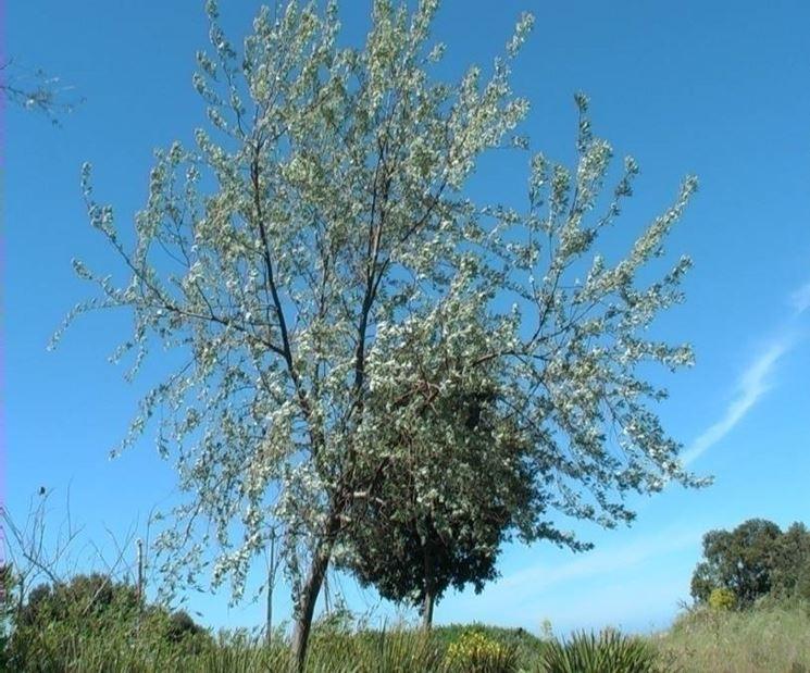 olivo boemia 2
