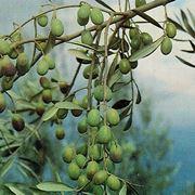 piante ulivo