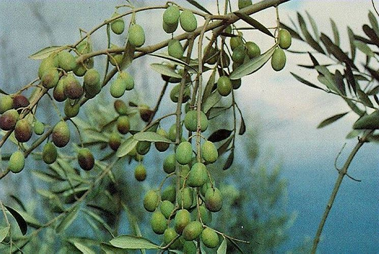 olivo frantoio1