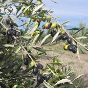olive frantoio