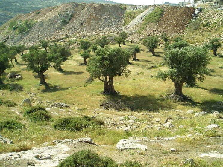 coltivazione dell'ulivo