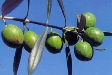 olivo Itrana 2