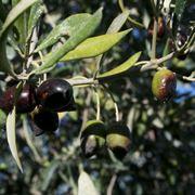 olivo leccio