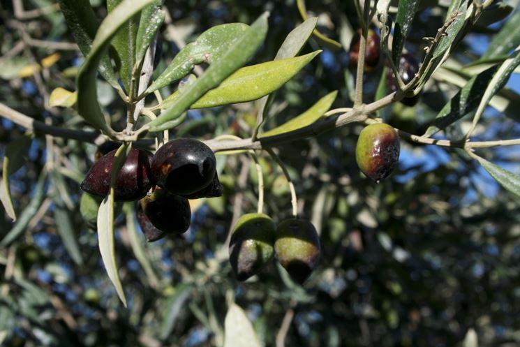 olive da olivo Leccio