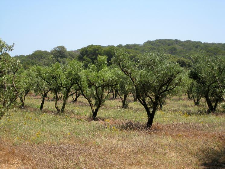 coltivare olivi leccio