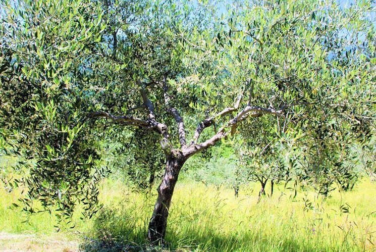 caratteristiche olivo leccio
