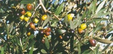 Olivo moraiolo 2