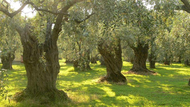 Piante olivo irrigate