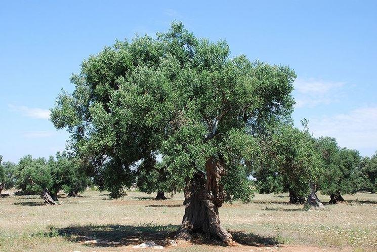 Olivi coltivati