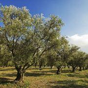 piante d'ulivo
