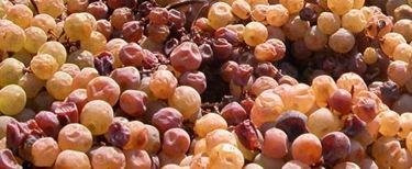Appassimento uva