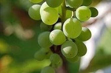 grappolo uva2