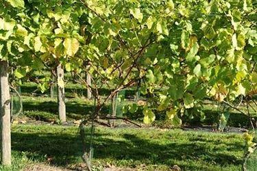 piantare uva