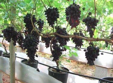 piantare uva 2