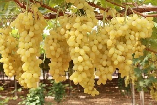 Uva apirene vite - Piante uva da tavola ...