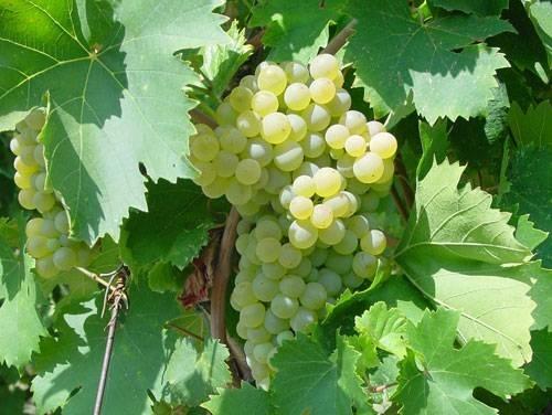 Uva fragola bianca vite - Potatura vite uva da tavola ...