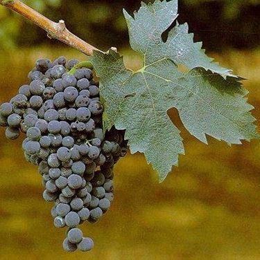 Uva Montepulciano grappolo