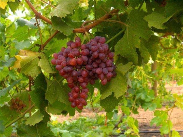 uva rossa2