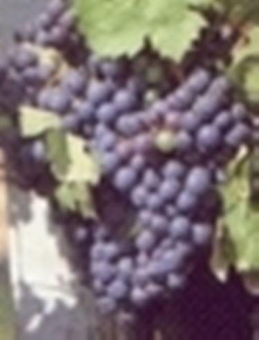 uva vino2
