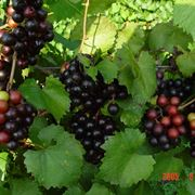maturazione uva