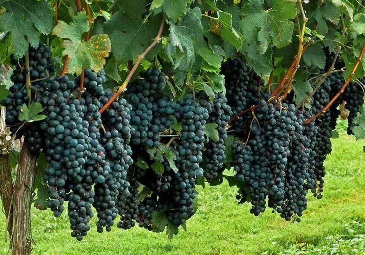 Coltivazione uva nera