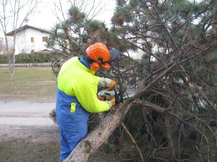 Un operatore che effettua la sramatura di un pino con una motosega da potatura