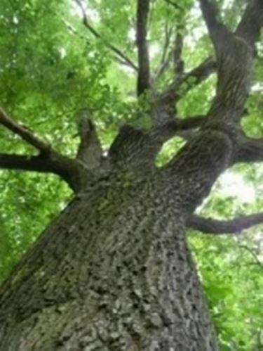 Botanica alberi botanica - Grandi alberi da giardino ...