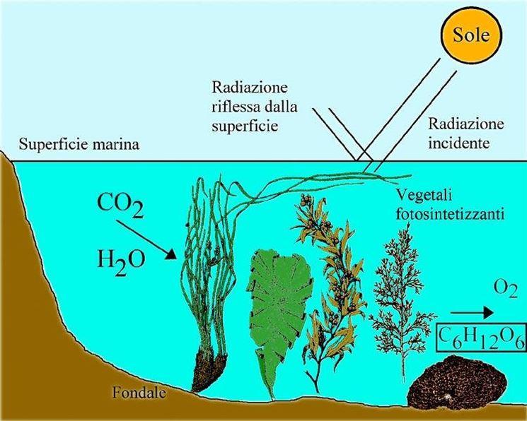 Fotosintesi anossigenica - le piante acquatiche