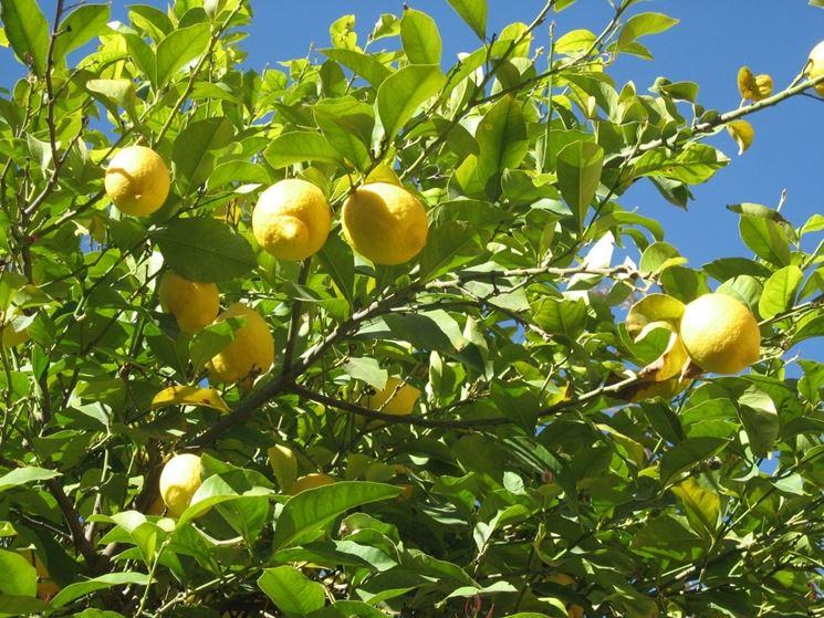 come concimare limoni in vaso