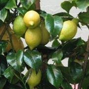 concime naturale per limoni