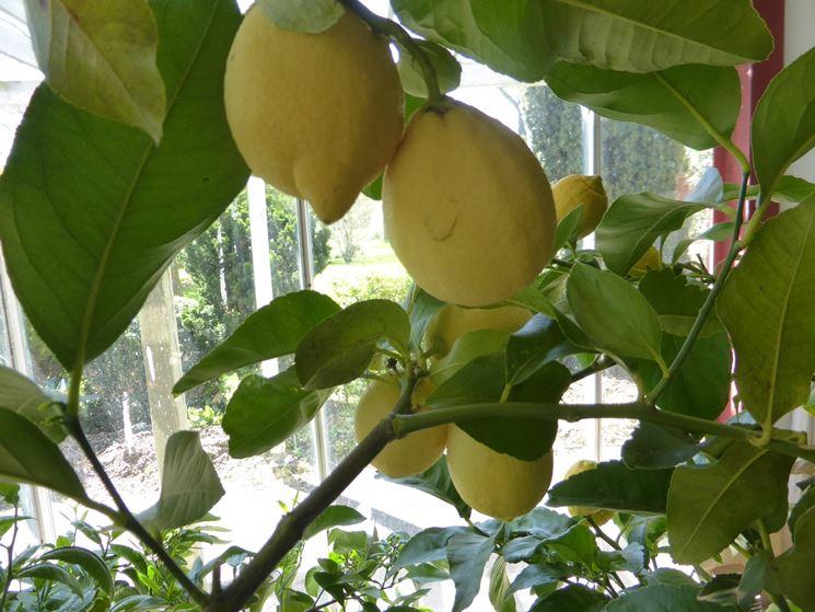 concimare limoni