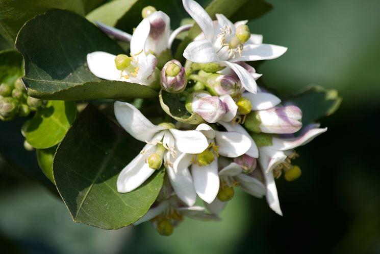 fiori limone