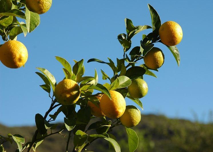 quando concimare limoni