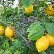 concime per limoni fatto in casa