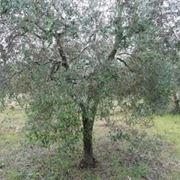 olivo1-1