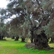 concime per olivi