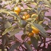 agrumi in vaso