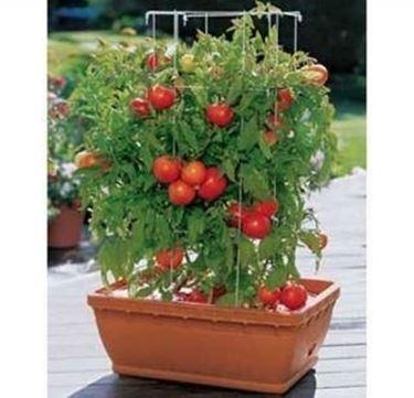 Concime per pomodori concime for Piante pomodori in vaso