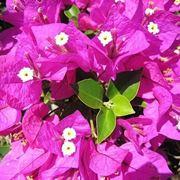bouganville fioritura
