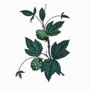 foto pianta di luppolo